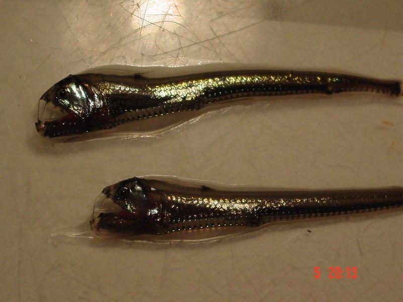 viperfish photo
