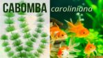 Cabomba Plant – Cabomba Aquatic Plant Care