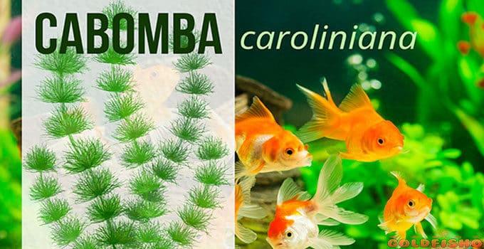 cabomba aquatic plant